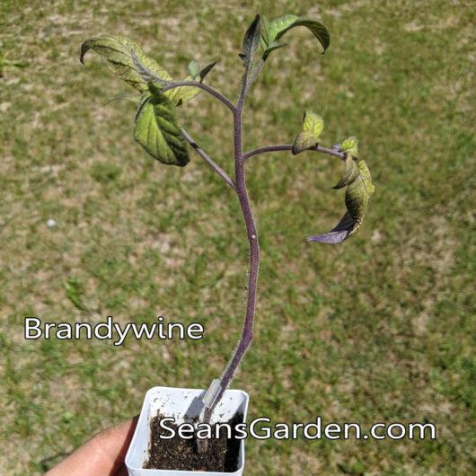 grafted Brandywine tomato
