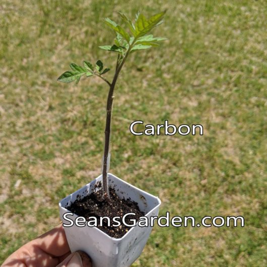 grafted carbon tomato