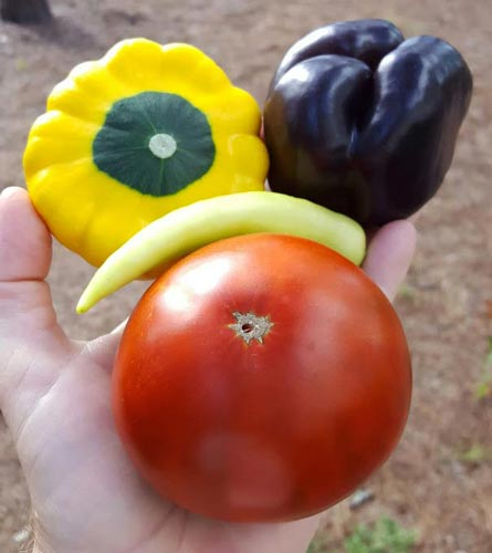 Purple bell pepper and Cherokee Chocolate tomato with pepper and squash