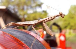 praying mantis helping