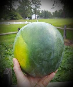 Blacktail heirloom watermelon