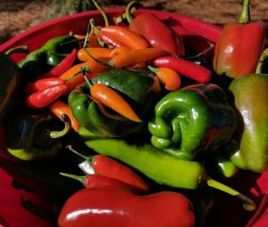 hot and sweet pepper harvest
